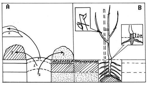 Как сажать грушу если близко грунтовые воды 12